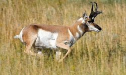 Pronghorn Desktop wallpapers