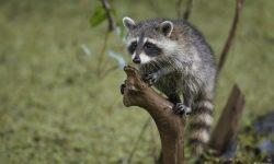 Raccoon Desktop wallpapers