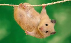 Rat Desktop wallpapers