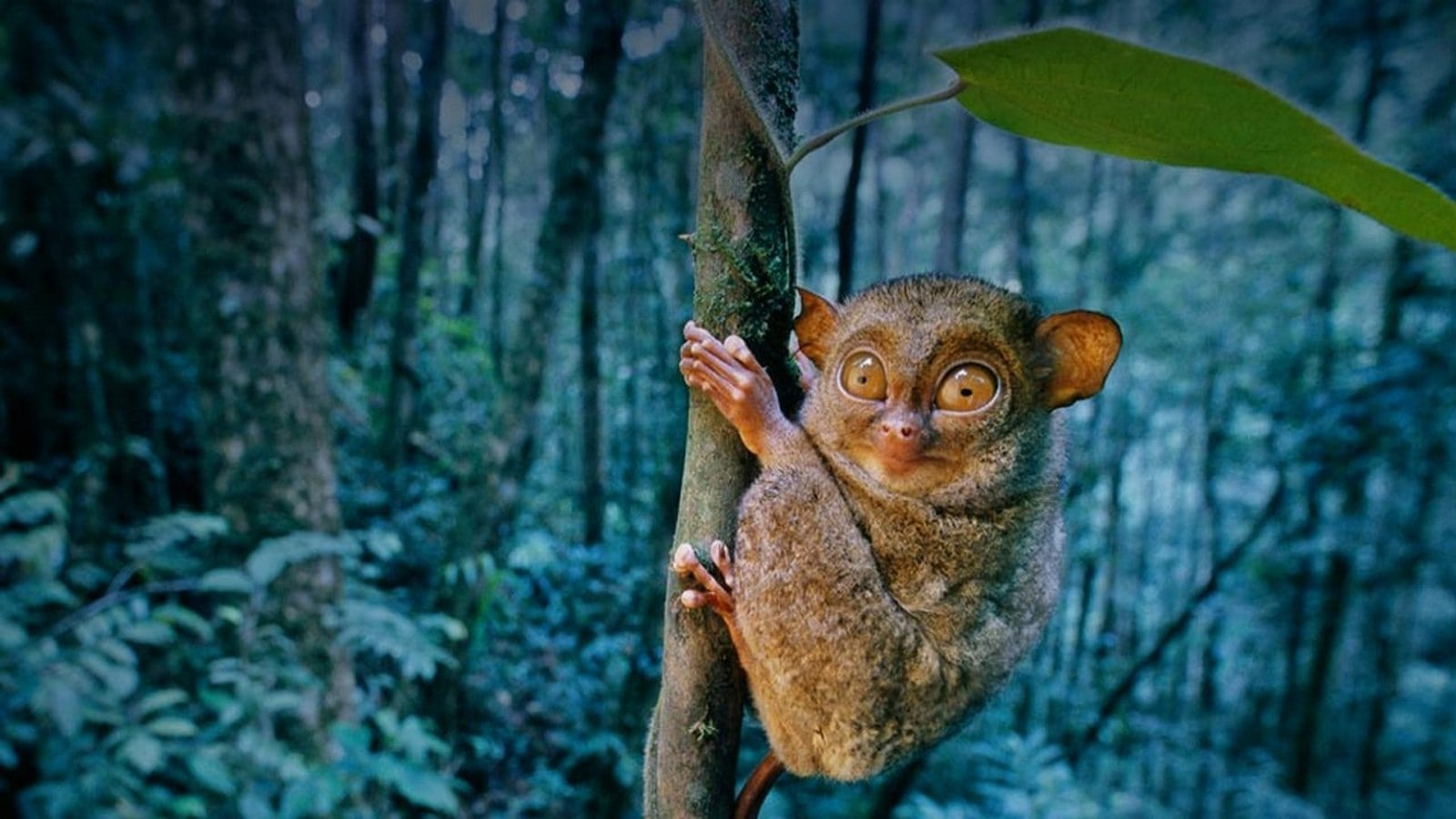 Tarsier Desktop wallpapers