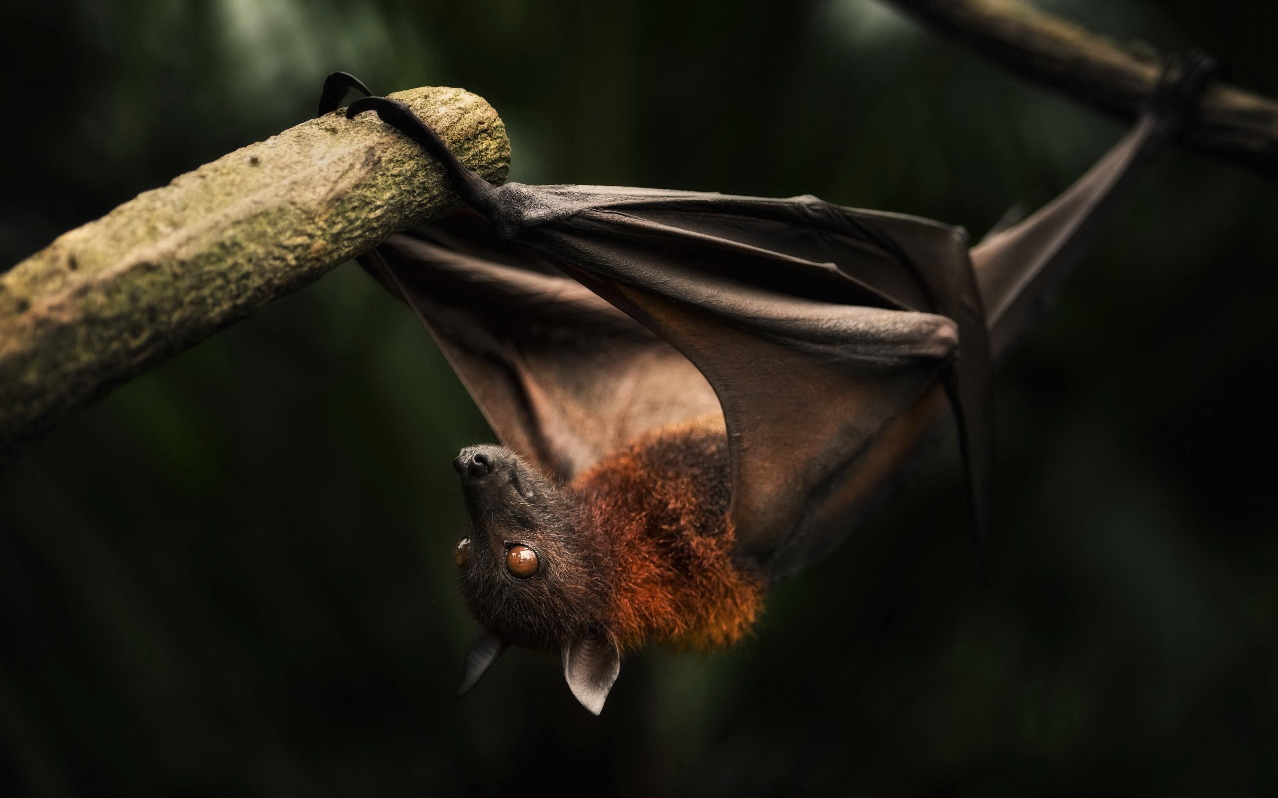 Bat Wallpapers