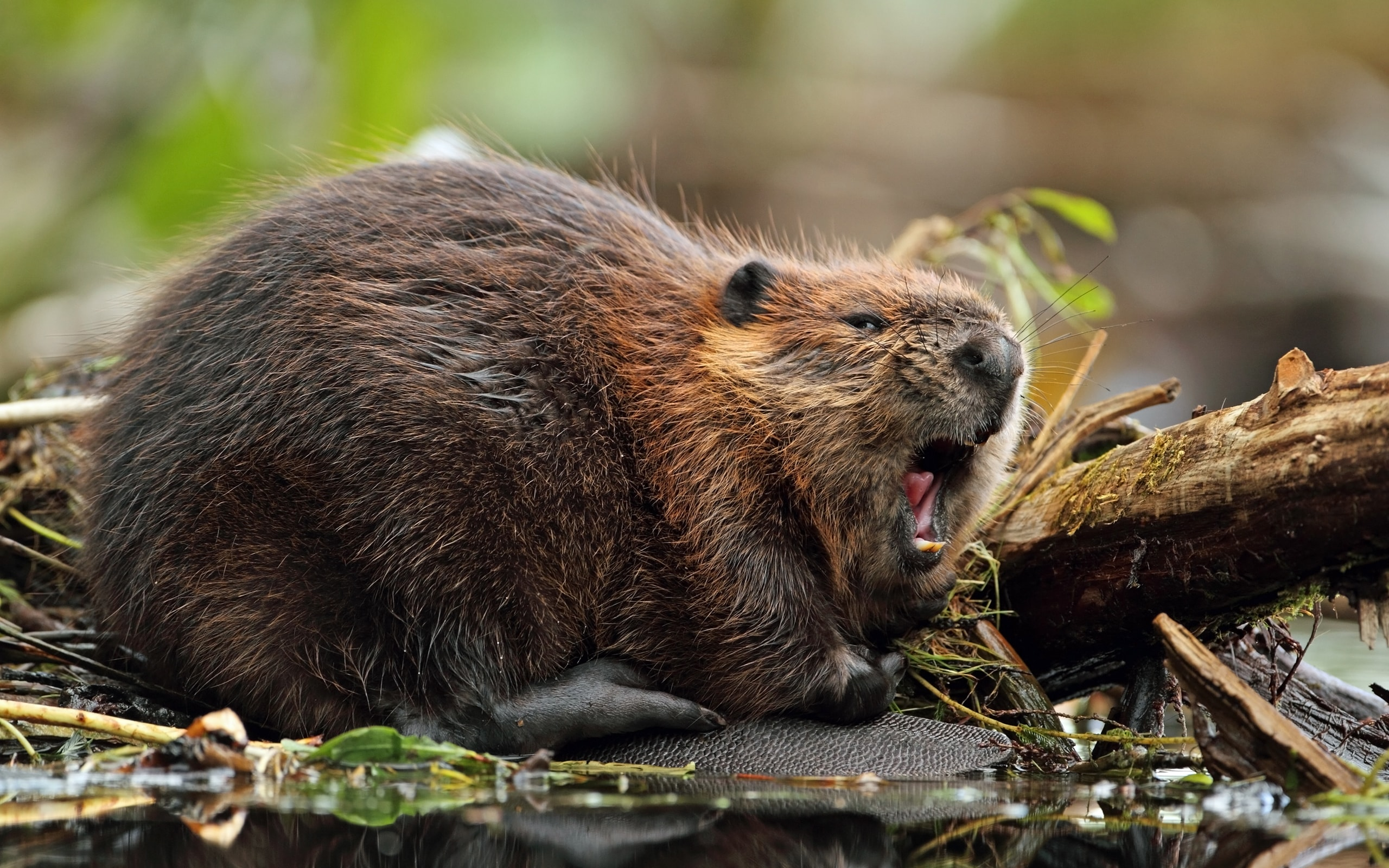 Beaver Wallpapers