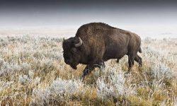 Buffalo Wallpapers