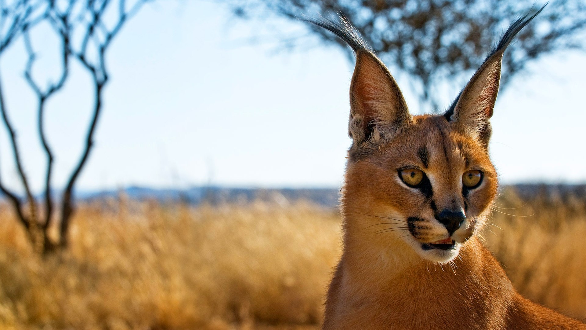 Caracal Wallpapers