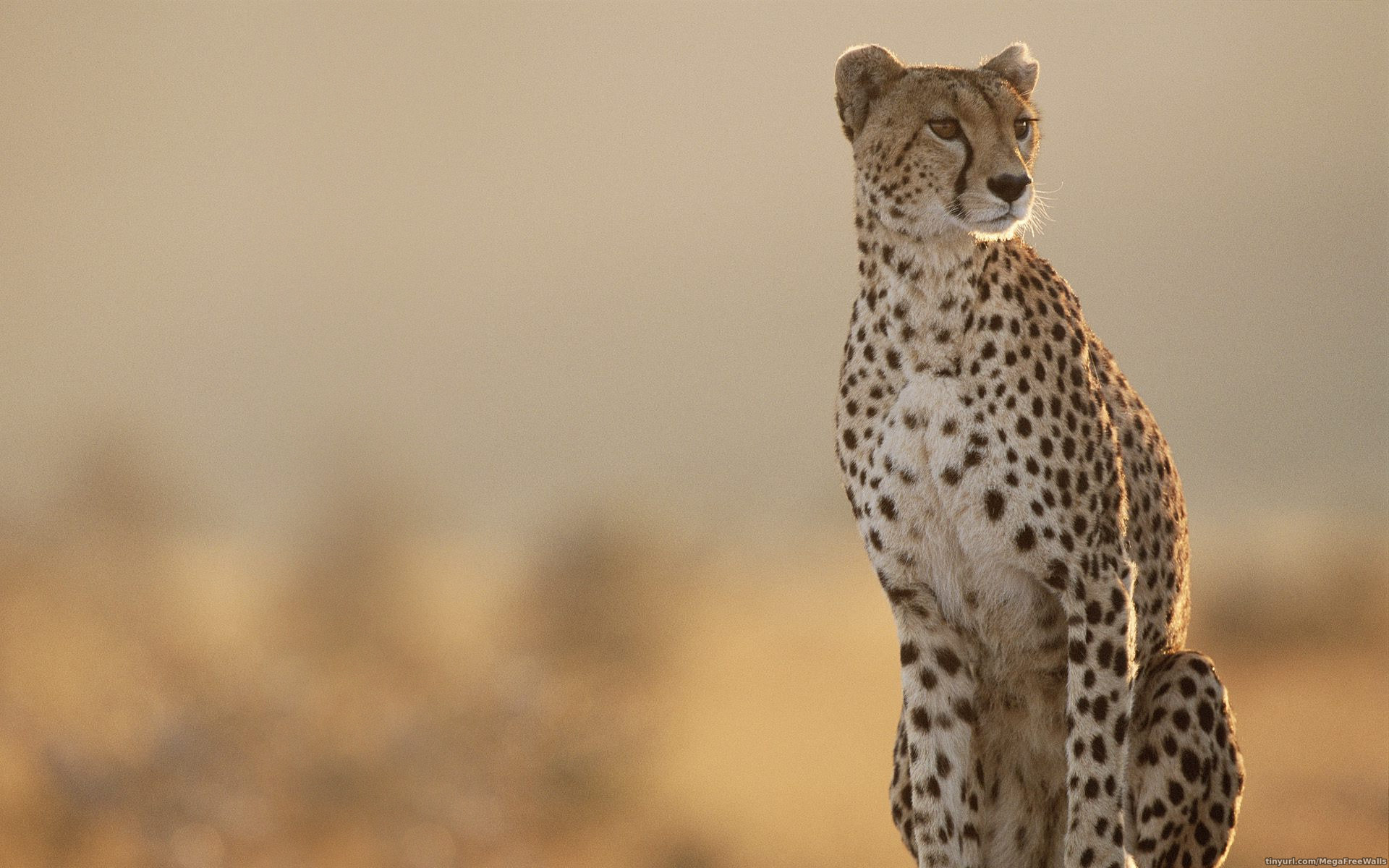Cheetah Wallpaper Free PC Wallpapers SaxonyBlue