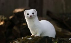 Ermine Wallpapers