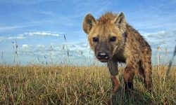 Hyena Wallpapers