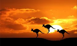 Kangaroo Wallpapers