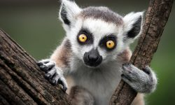 Lemur Wallpapers
