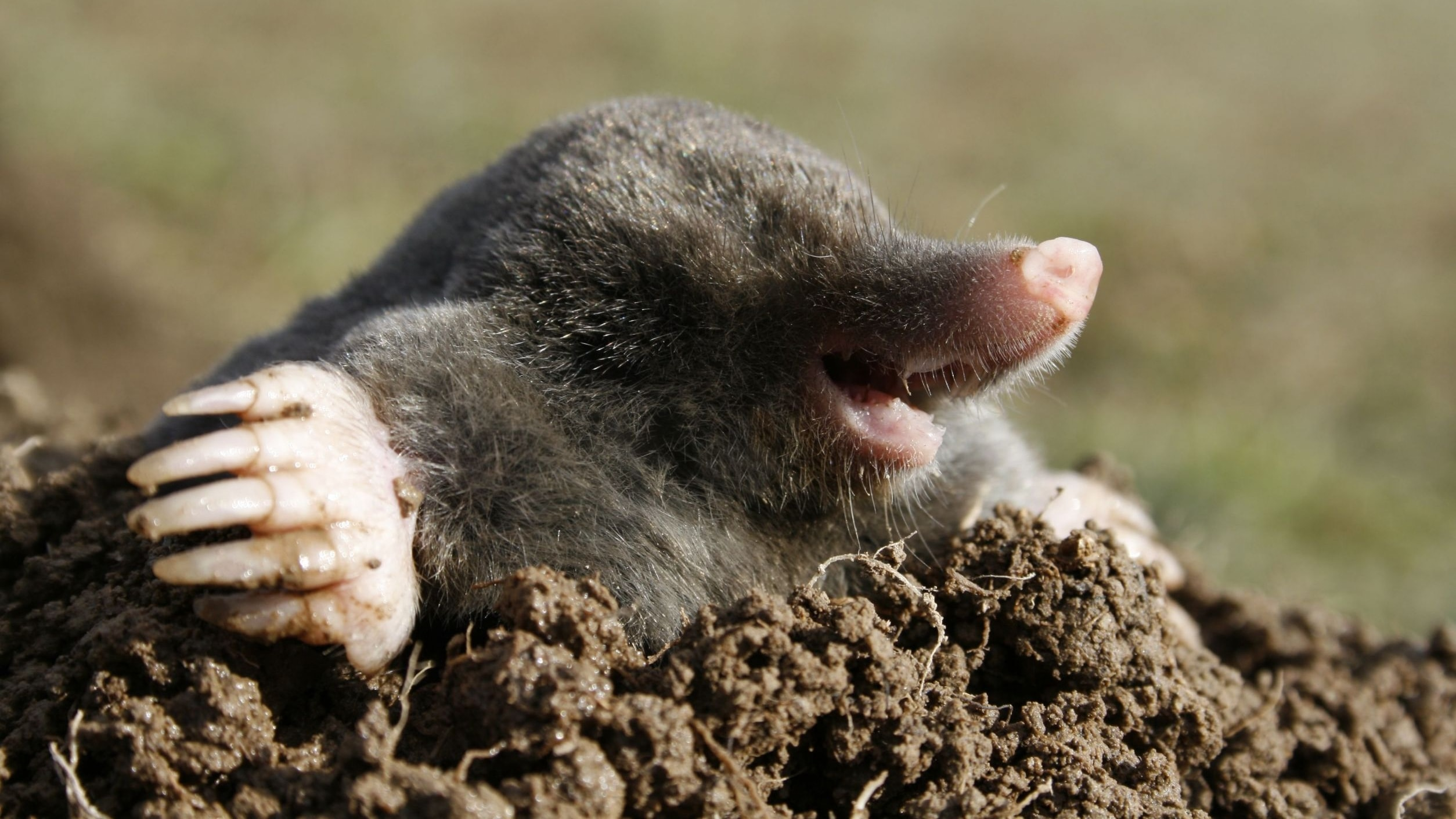 Mole Wallpapers