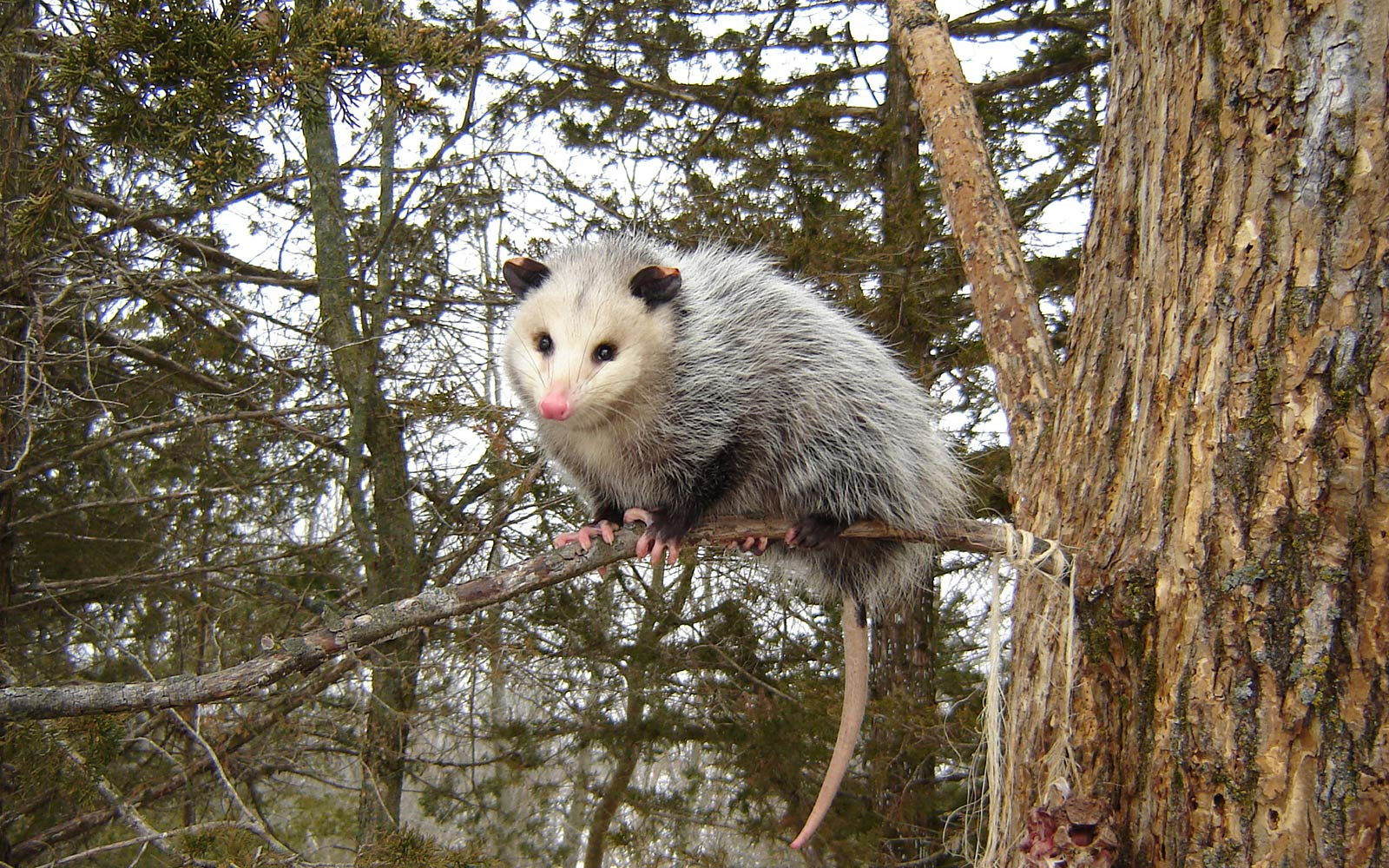 Opossum Wallpapers