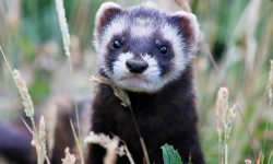 Weasel Wallpapers