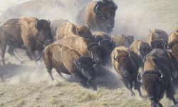 Buffalo desktop wallpaper
