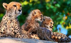 Cheetah widescreen