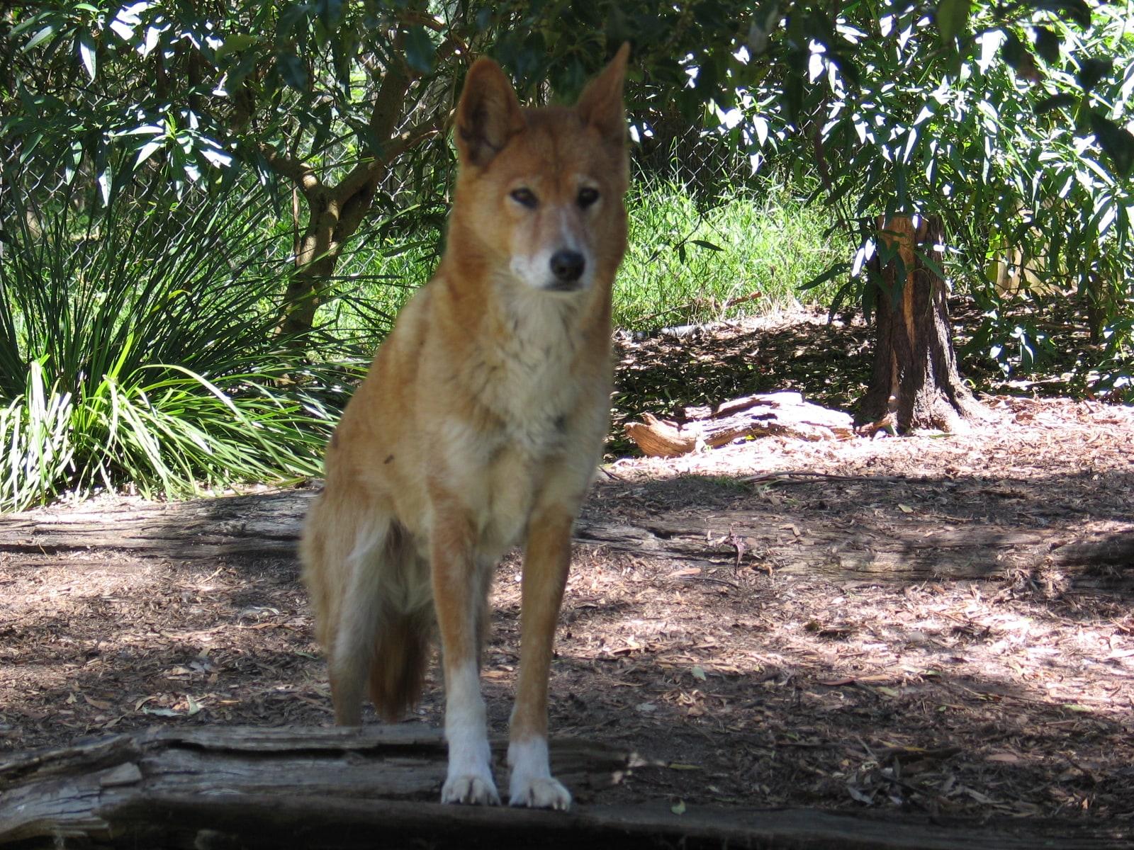 Dingo widescreen