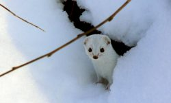 Ermine Desktop wallpapers