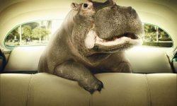 Hippopotamus widescreen