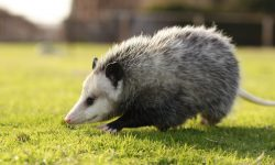 Opossum widescreen