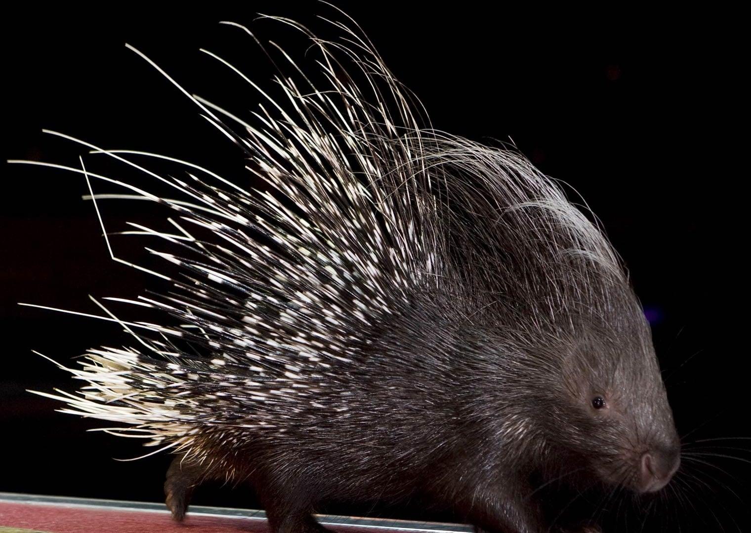 Porcupine desktop wallpaper