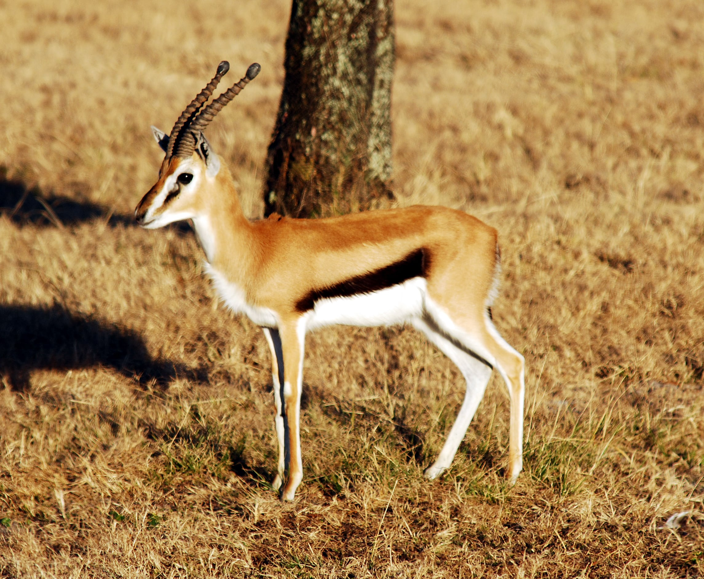 Springbok widescreen