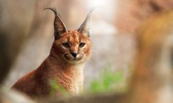 Caracal Wallpapers hd