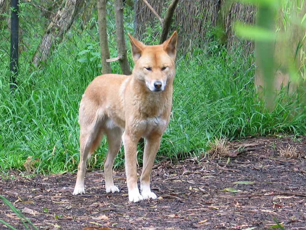 Dingo Wallpapers hd