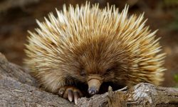 Echidna Wallpapers hd