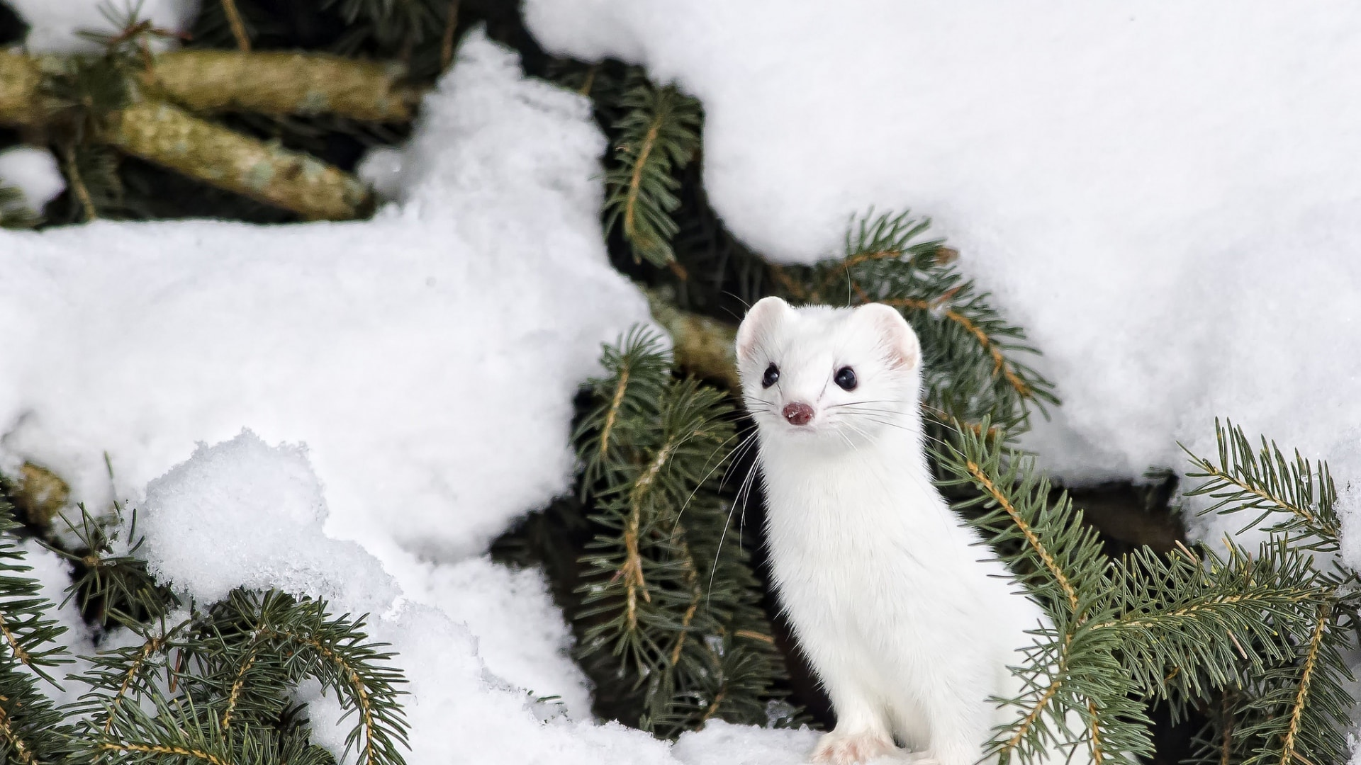 Ermine Wallpapers hd