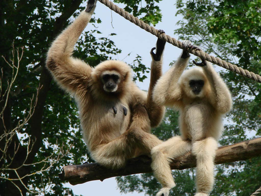 Gibbon Wallpapers hd