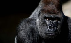 Gorilla Wallpapers hd
