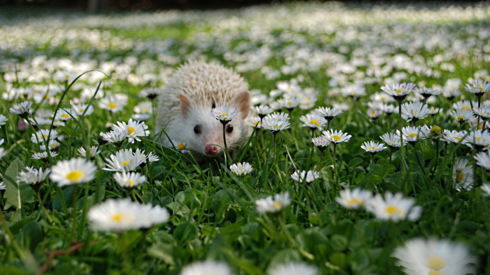 Hedgehog Wallpapers hd