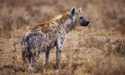 Hyena Wallpapers hd