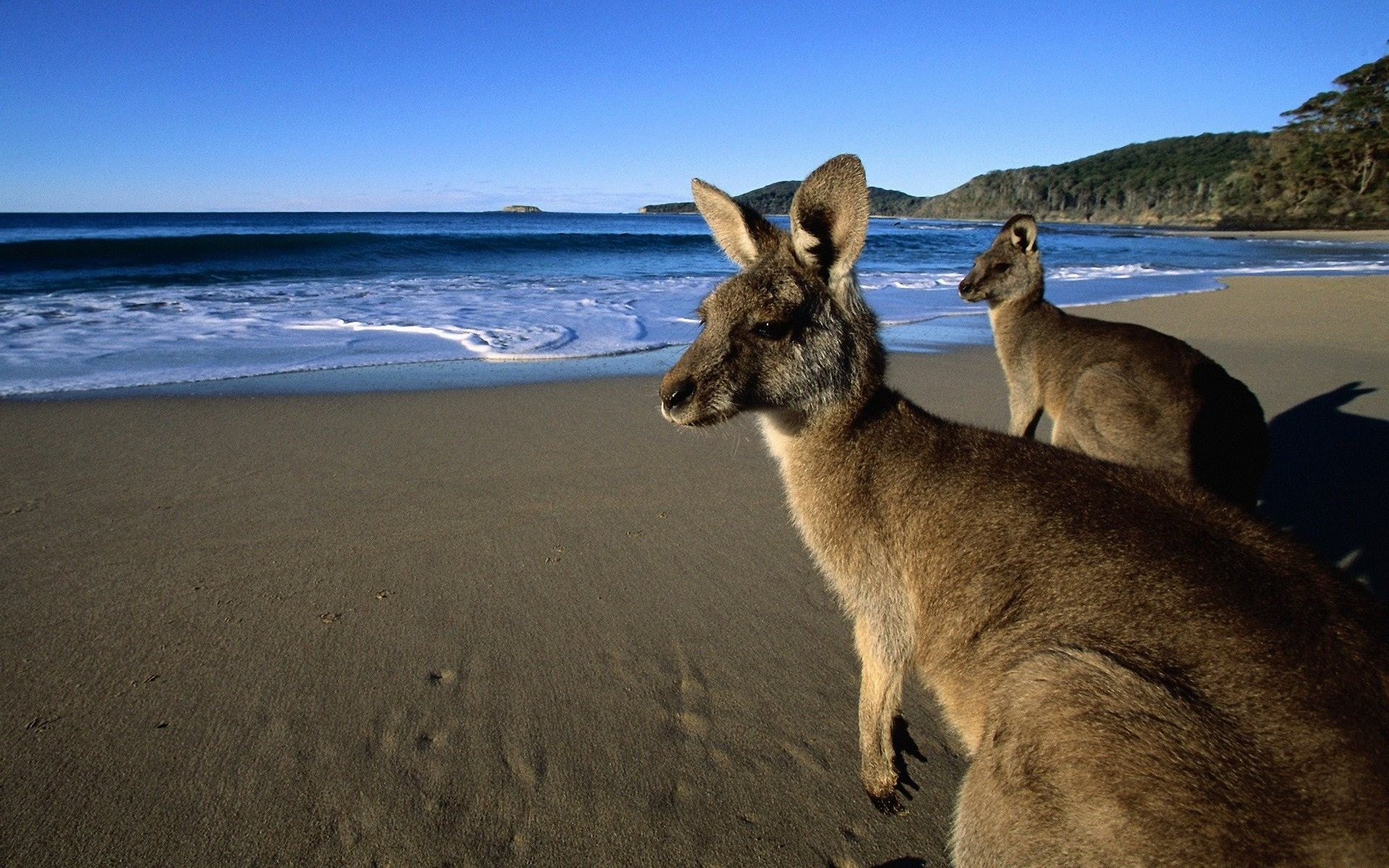 Kangaroo Wallpapers hd