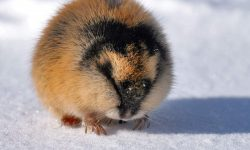 Lemming Wallpapers hd