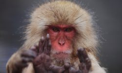 Macaque Wallpapers hd