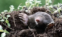 Mole Wallpapers hd