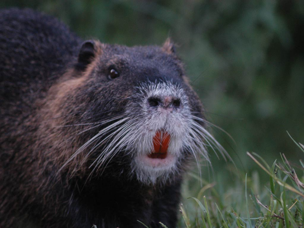 Nutria Wallpapers hd