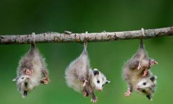 Opossum Wallpapers hd
