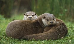 Otter Wallpapers hd