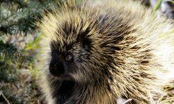 Porcupine Wallpapers hd