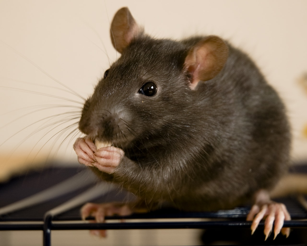 Rat Wallpapers hd