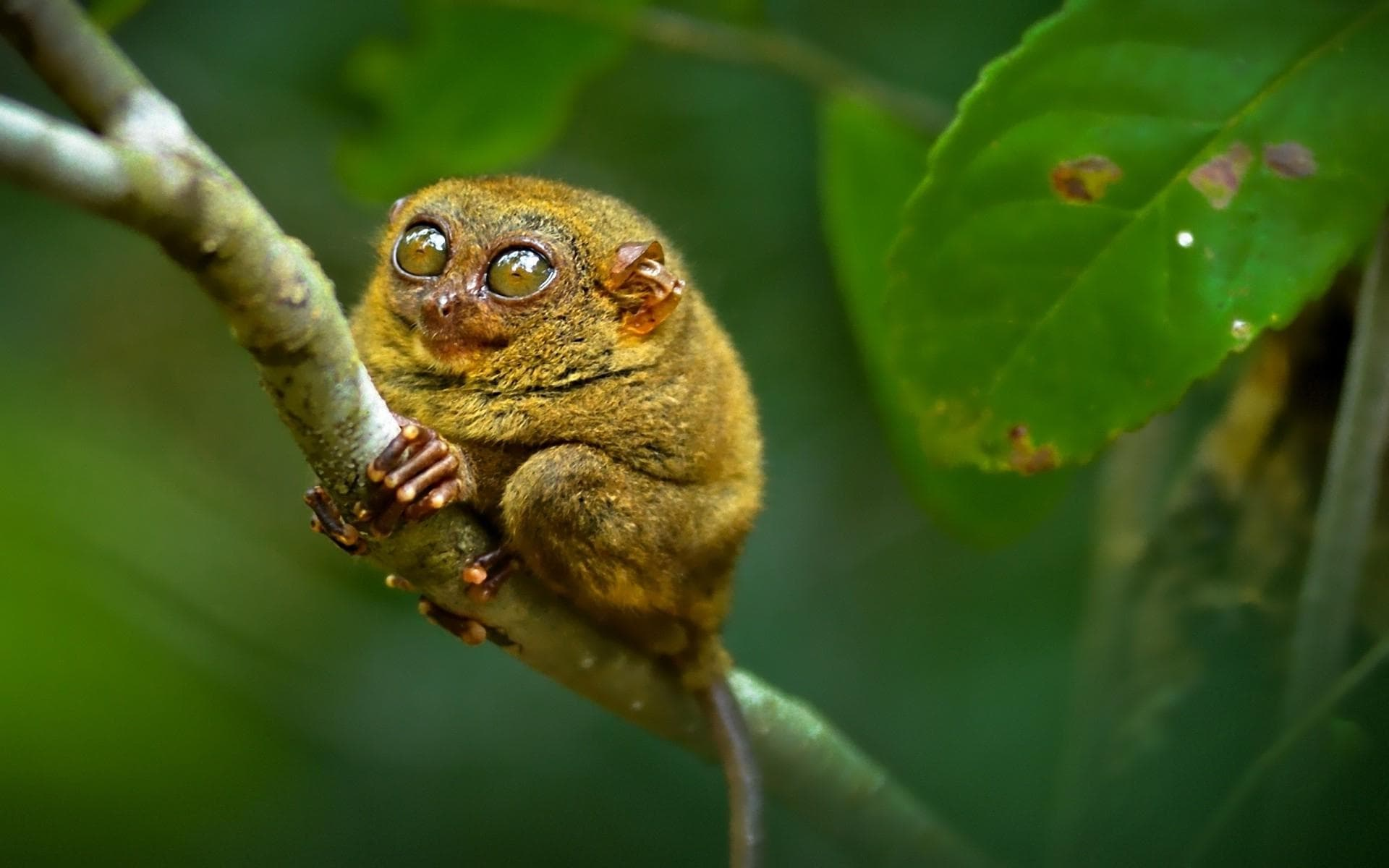 Tarsier Wallpapers hd