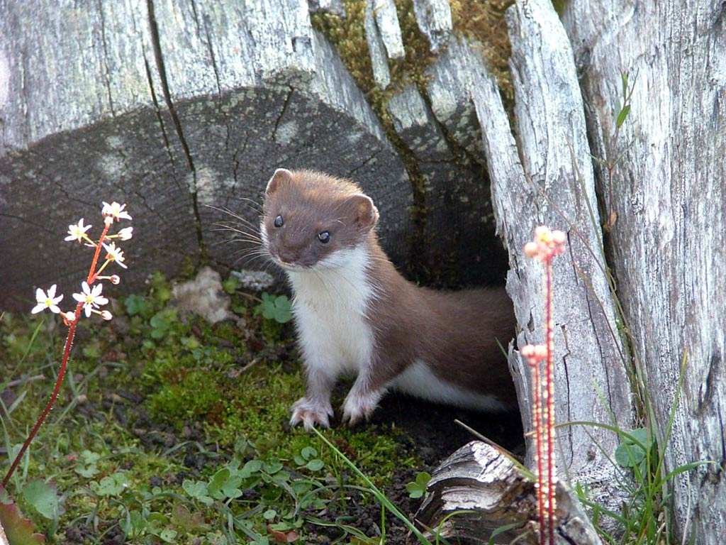 Weasel Wallpapers hd