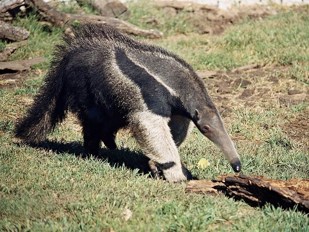Ant-Eater Pictures