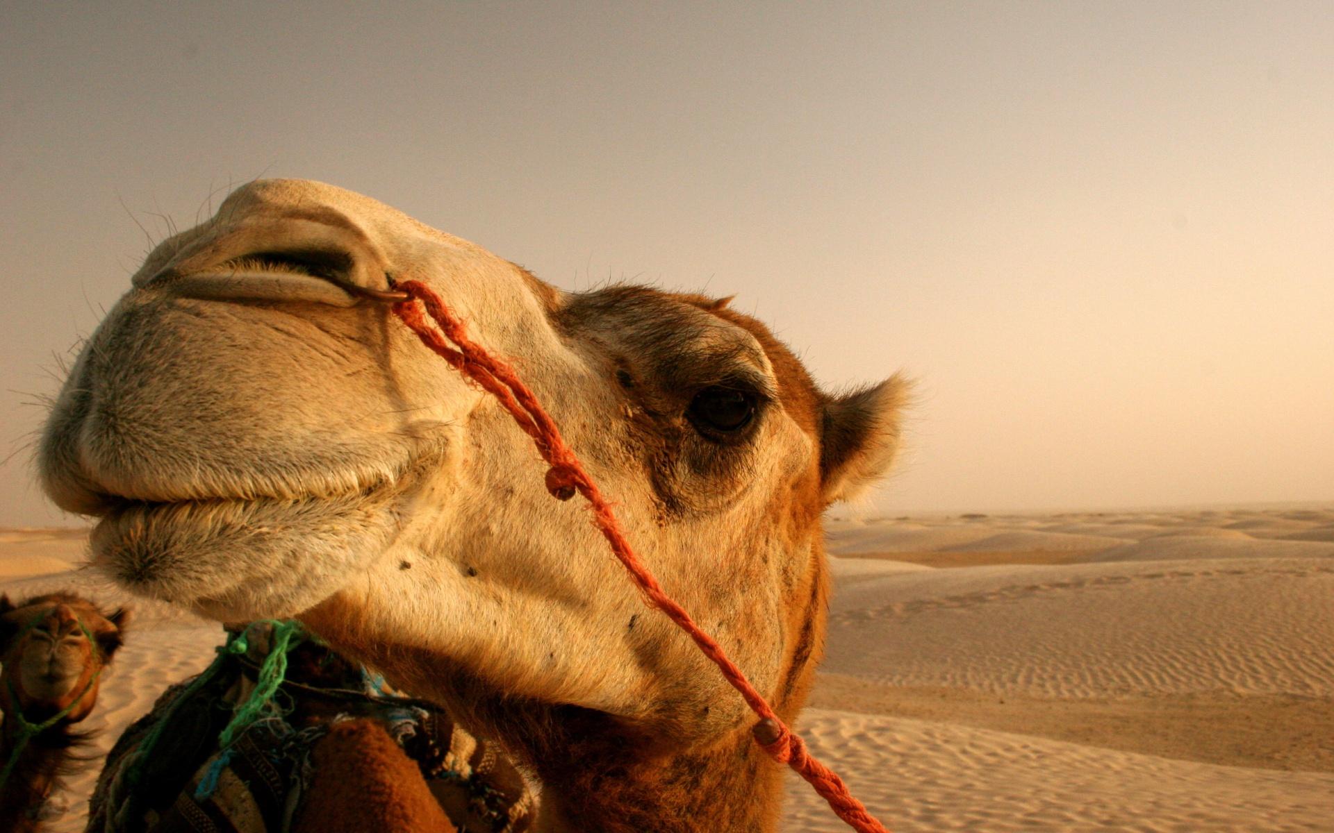 Camel Wallpaper