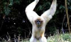 Gibbon Wallpaper