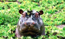 Hippopotamus Wallpaper