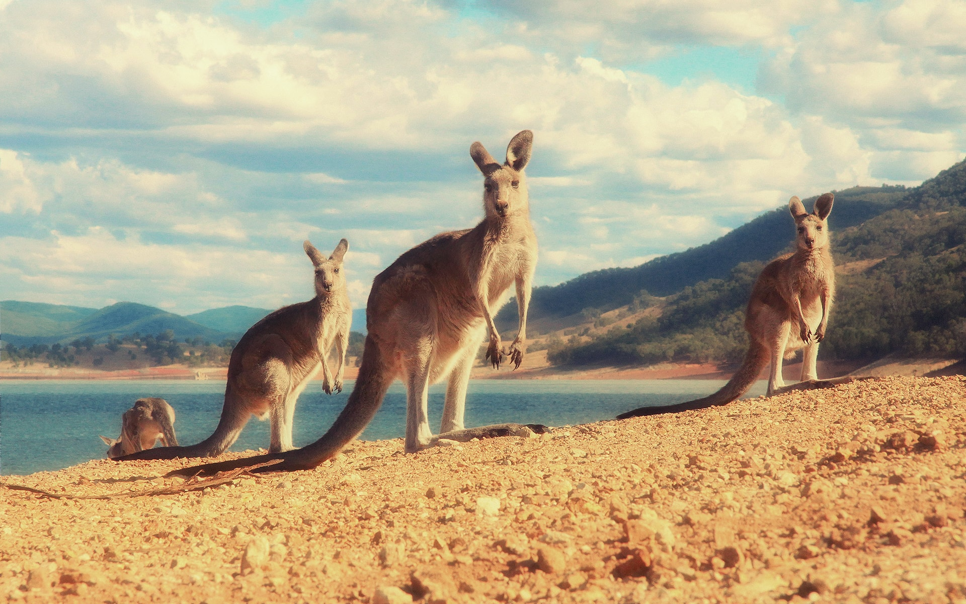 Kangaroo Wallpaper