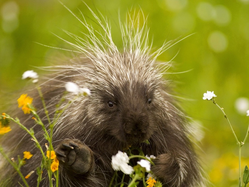 Porcupine Backgrounds