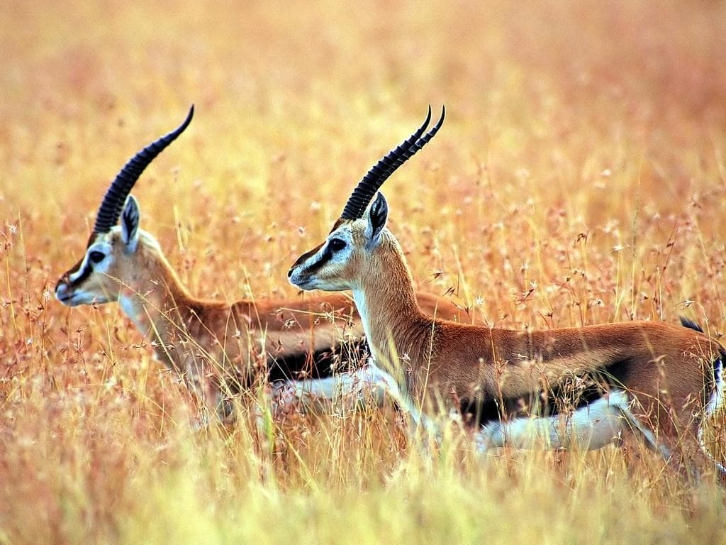 Springbok Wallpaper